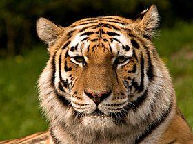 зоопарк залишився без дорослих тигрів
