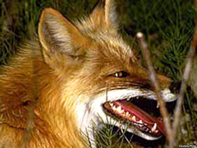 На Рівненщині виявили 50 випадків сказу у тварин