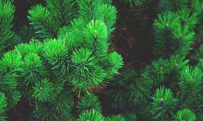 саджанці дерева сосна